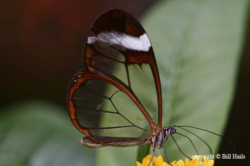 Transparent Butterfly 04