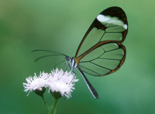 Transparent Butterfly 10