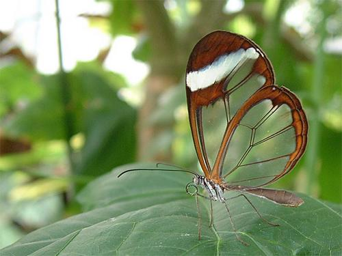 Transparent Butterfly 16